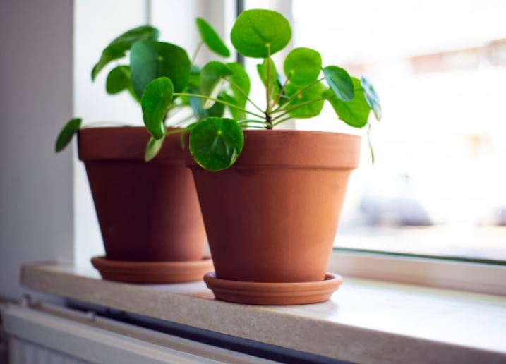2 pilea peperomioides plant in brown pots in window