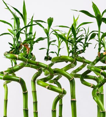 curling bamboo stalk with leaves