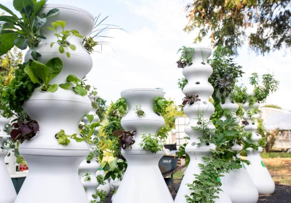 harvest plants in lettuce grow