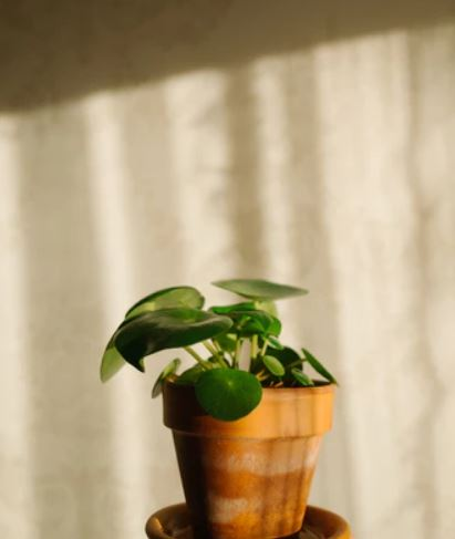 pilea money plant in sunlight