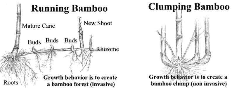 running and clumping bamboo illustration