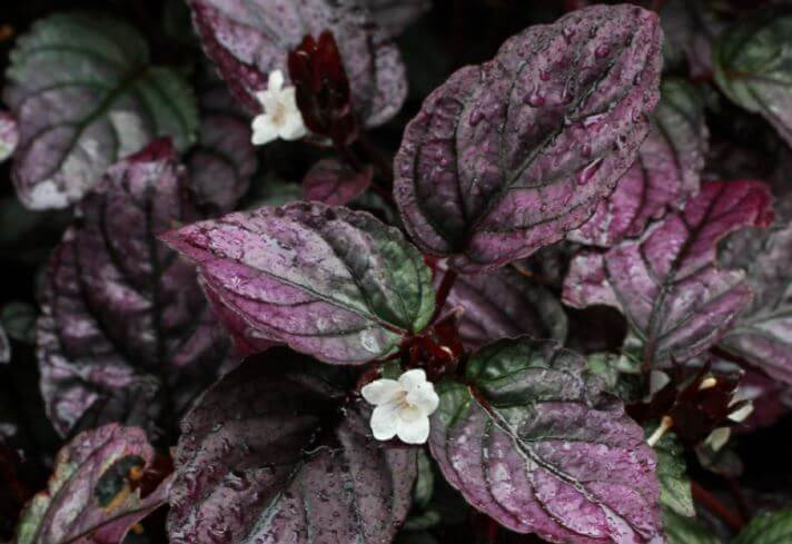 purple waffle plant with white flower