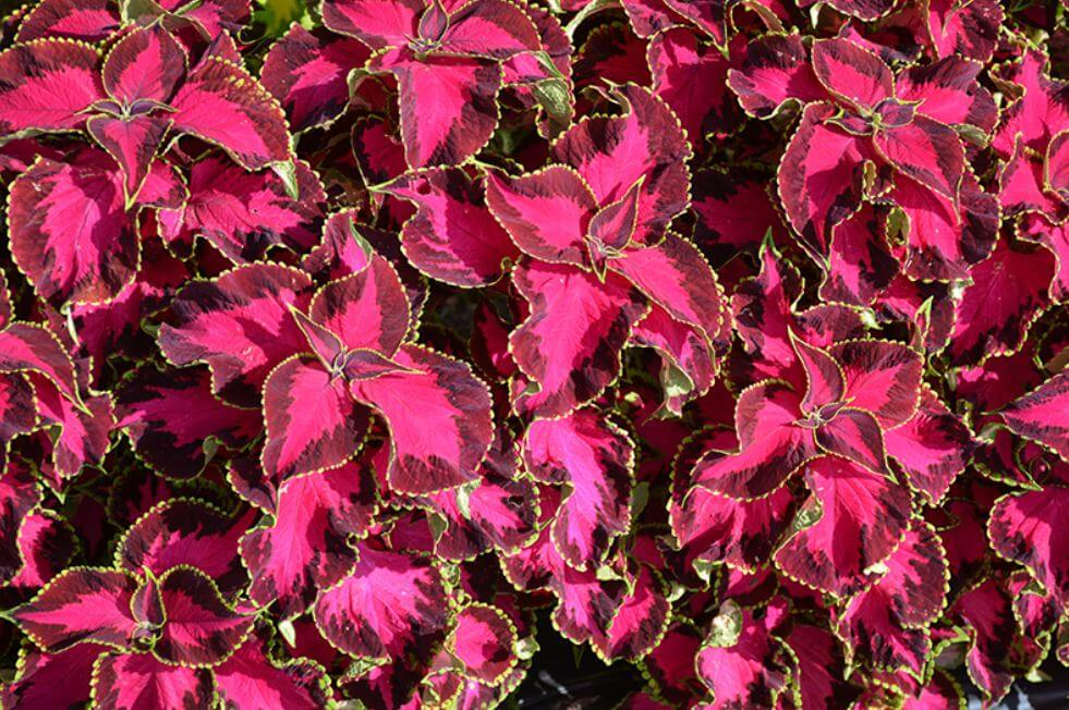 coleus chocolate covered cherry